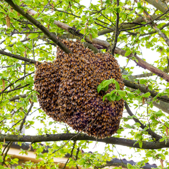 Honey Swarm