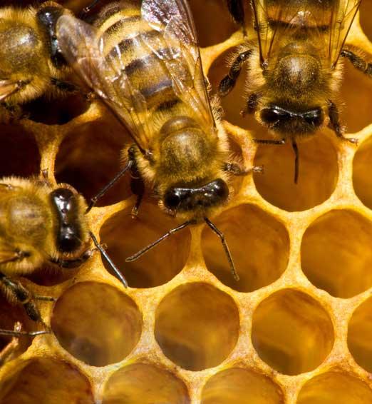 MBKA Bees